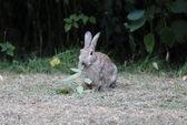 Rabbit, Lepus curpaeums — Stock Photo