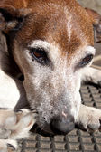 Old Grey Jack Russell — Stock Photo