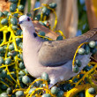 Dove Sitting In Turquiose Fruits — Stock Photo