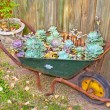 Wheelbarrow With Desert Roses — Stock Photo