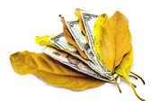 Fyra dollarsedlar mellan höstlöv — Stockfoto