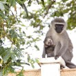 Stock Photo: Vervet Monkey And Baby Sitting On Concrete Wall