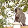 Stock Photo: Vervet Monkey And Baby On Concrete Wall