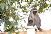 Vervet Monkey And Baby Sitting On Concrete Wall — Stock Photo