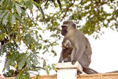Vervet Monkey And Baby On Concrete Wall — Stock Photo