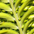 Stock Photo: Close Up Detail Of Leaf On Cycad Plant
