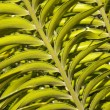 Stock Photo: Close Up View Of Leaf On Cycad Plant