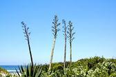 Tři kvetoucí sisal rostliny rostoucí na písečné duny — Stock fotografie