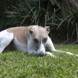 Foto de Stock  : Whippet Relaxing On Garden Lawn
