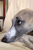 Face Of Mischievious Whippet Caught Lying On Furniture — Foto Stock