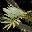 Stock Photo: Closeup of Green Leaf of Cycad Plant