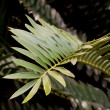 Closeup of Green Leaf of Cycad Plant — Stock Photo #39477509
