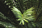 Closeup of green and Yellow Leaf Of Cycad Plant — Stock Photo