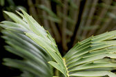Abstract Closeup of Green and Yellow Leaf of Cycad Plant — Stock Photo