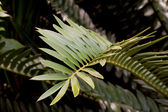 Closeup of Green Leaf of Cycad Plant — Stock Photo