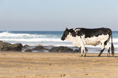 Nguni Cow At The Seaside — Stock Photo