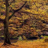 Colorful autumn river bank at rapid stream, under old beeches and maples. — Stock Photo