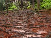 Footpath in the forest covered by bare spruce roots. Needles, sand and rot orange beech leaves. — Stock Photo