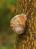 Spleeping snail on brown bark of lime tree. — Stockfoto