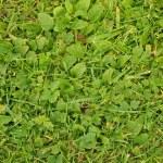 Fresh green leaves of cut grass as textura. — Stock Photo #29750465