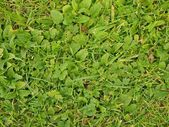 Fresh green leaves of cut grass as textura. — Stock Photo