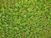 świeża zieleń liści cięcia trawy textura. — Zdjęcie stockowe