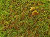 Brown green carpet from dry moss with hats of oak acorn. — Stock Photo