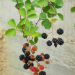 Young pink and black blackberries on twig with fresh green leaves in background. — Stock Photo