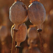 Old dry poppy heads in evening sunshine. Brown popy heads with marks of noble. — Stock Photo #30166661