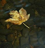 Asalt stones in water of mountain river, first colorful autumn leaves from maple — Stock Photo
