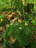 Basalt mossy boulder in leaves forest covered with first colorful leaves from maple tree, ash tree and aspen tree. — Stock Photo