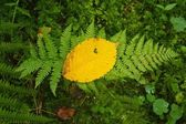 Wet fern stem with yellow aspen leaf in leaves forest. — Stock Photo