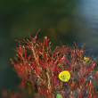 Aspen leaf on gentle red exposed roots of aspen tree in blurred clear water of mountain river, first autumn colors. — Stock Photo