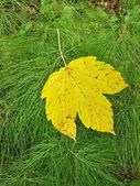 Bright yellow maple leaf fell down on fresh green stems of horsetail. — Stock Photo