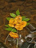 The first colorful leaf from maple tree on basalt stones in blurred water of mountain river. — Stock Photo