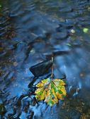 The first colorful leaf from maple tree on basalt mossy stones in blurred water of mountain rapids stream. — Stock Photo