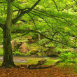 Old beech tree with first colorful leaves in deep sandstone gulch covered beeches and maple trees. River bank under trees at mountain river. Fresh spring air in the evening after rainy day. — Stock Photo