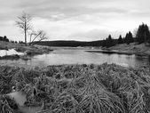 Zimní pohled na jezero s tenkou modrou Led na protějším břehu. suché staré stébla trávy a rákosí na banku, tmavě modré a zelené jehlice stromu, nahý listy stromu. černobílé fotografie. — Stock fotografie