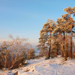 Winter morning on summit of rocky view point. Bended pines with freeze needles and branches. Frozen powder snow on stony ground. — Stock Photo