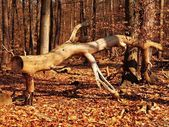 Old fallen tree without bark in sunny beech forest. Old and orange beech leaves on the ground. — Stock Photo