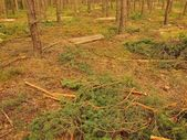 Felling of young trees in pine forest. Cut trunks and branches on the ground. — Stock Photo