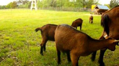 Young brown goats with mom are grazing fresh green grass on meadow — Vídeo de Stock