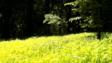 A hot afternoon in a glade, wilted plants with bent light green  leaves. Background dark beech forest — Stock Video