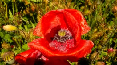 Filed with many poppy flowers in blossoms. Very hot day, plants have wilt leaves, sharp shadows. — 图库视频影像