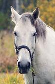 Cavalo branco — Fotografia Stock