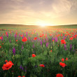Field with grass, violet flowers and red poppies against the sun — Stock Photo