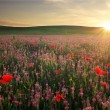 Foto de Stock  : Field with grass, violet flowers and red poppies against sun