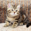 Little Kitten on sofa — Foto de Stock