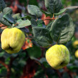 Yellow ripen quince on the branch — Stock Photo