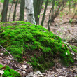 Moss in the forest — Stock Photo